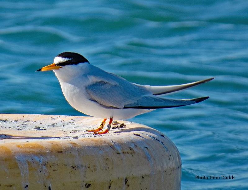 Chesil Little Tern Recovery Project Report 2020